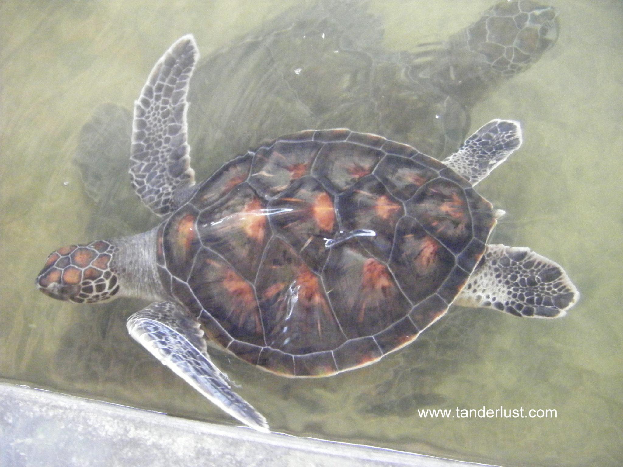 turtle farm sri Lanka