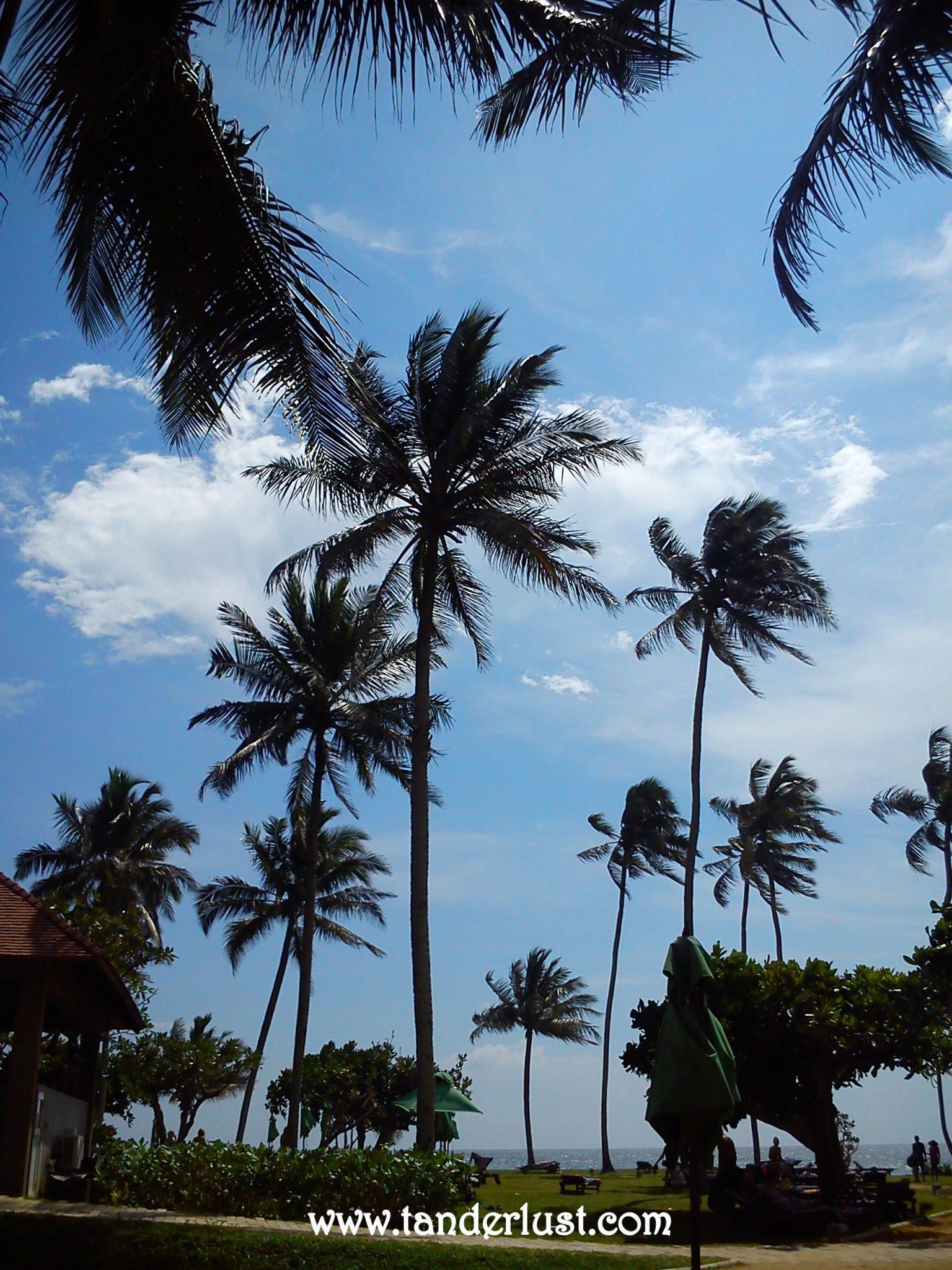 Bentota Coconut tree Sri Lanka
