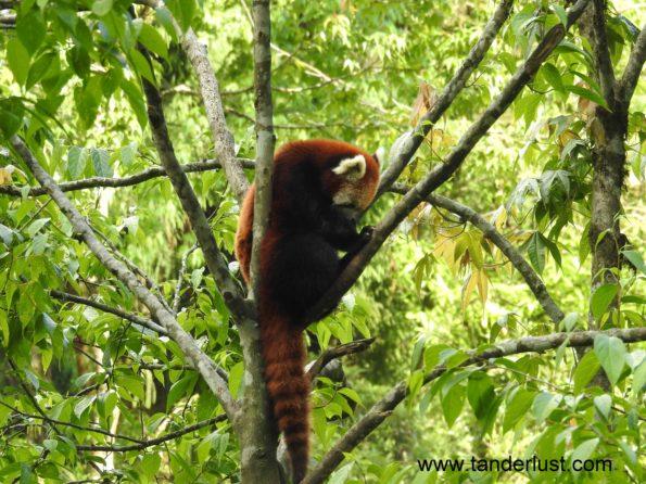 red-panda-sikkim-himalayan-zoological-park